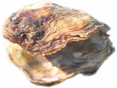 KAMENICE (Ostrea edulis)