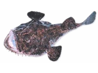 GRDOBINA (Lophius piscatorius)