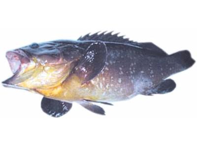 KIRNJA (Epinephelus marginatus)