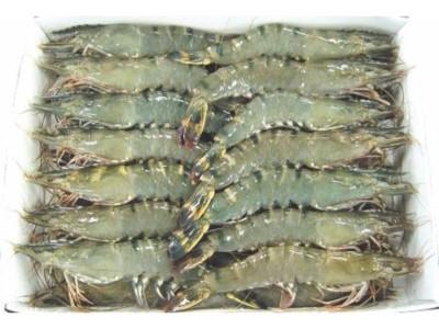 TIGRASTA KOZICA (Penaeus monodon)